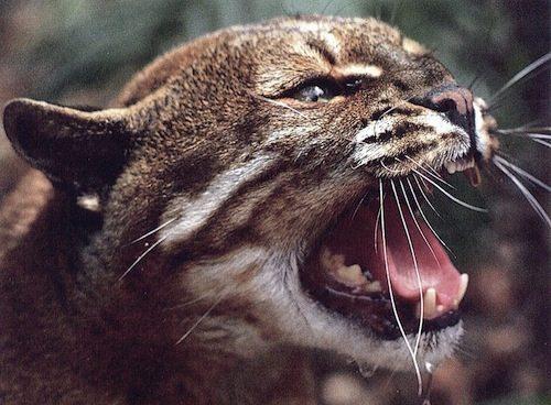 wildcat51-TemmincksGoldenCat-Snarls-FaceCloseup