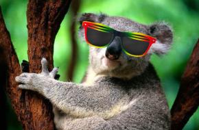 koala_bro