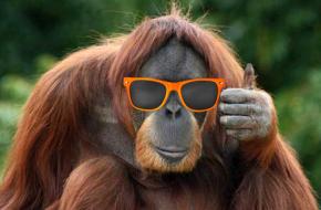 orangutan_Man Bro