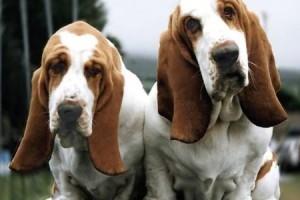 basset-hounds