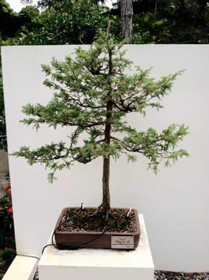 Morikami Museum Japanese Gardens Boca Raton Florida Bonsai Tree