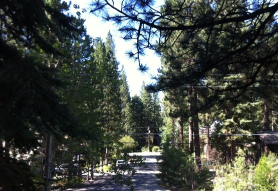 tahoe_evergreen_trees
