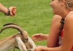 bitter_lacrosse_goat