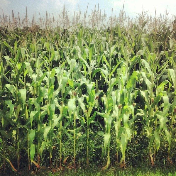 Maryland Corn.
